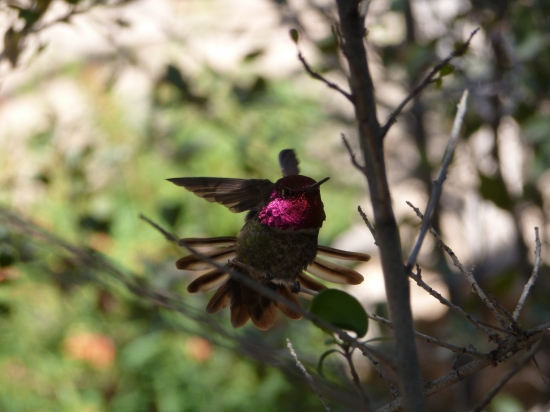 hummingbird sonoma desert museum