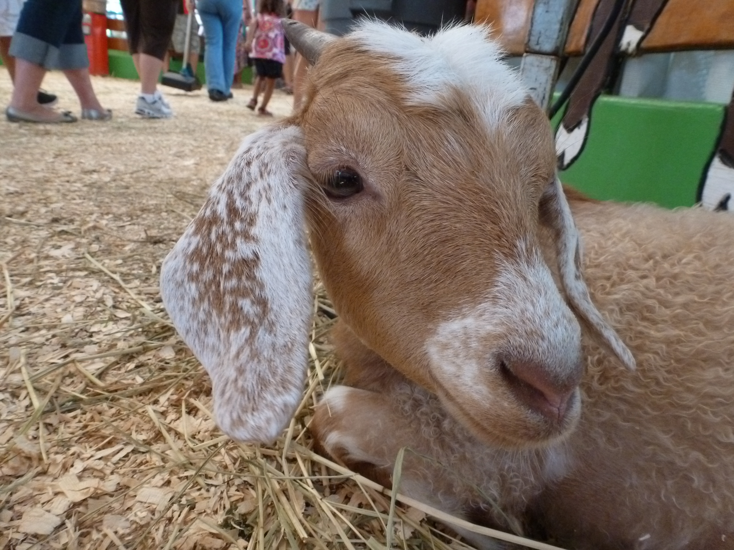 Goat 1 CNE