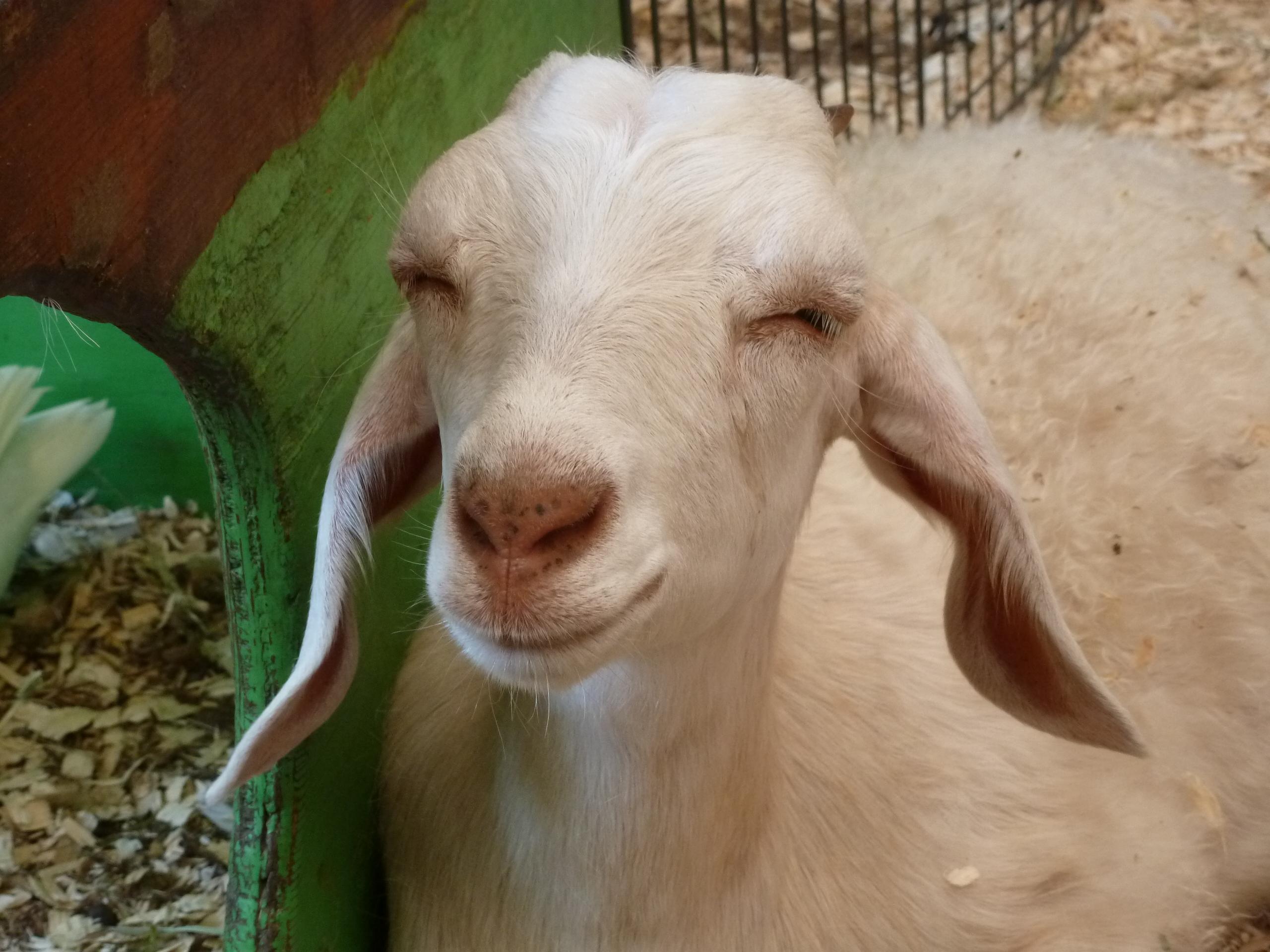 Goat 2 CNE
