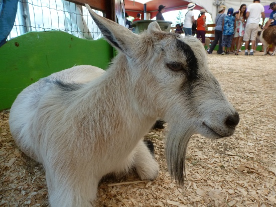 Goat at the CNE