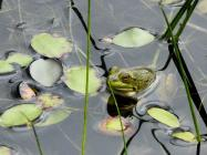 frog lilies flower pond water